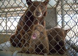 Zoo Lights Oakland Ca by Burglar Black Bear Family Gets Adopted By Oakland Zoo Sfgate