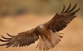 hd background flying eagle bird open wings brown desert wallpaper