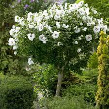 25 unique trees ideas on lilac