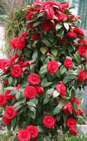 camellia flowers camellia flowers 47 pics