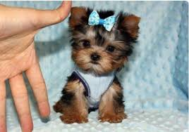 teacup yorkie haircuts pictures pictures of yorkies full hd pics photos best yorkie haircuts ideas