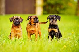 affenpinscher brussels griffon rescue 12 of the world u0027s smallest dog breeds mnn mother nature network