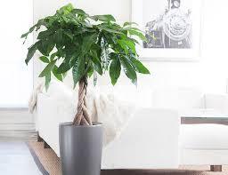 good inside plants stunning best indoor tree ideas decoration design ideas ibmeye com