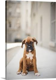 boxer dog wall art fawn colored boxer puppy with black face and white markings