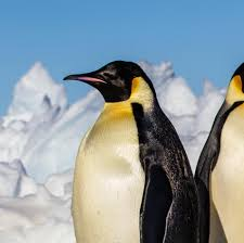 emperor penguin national geographic