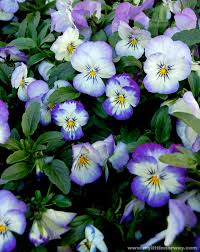 garden flowers names annual plants annual flowers annuals winter