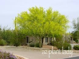 Tree With Bright Yellow Flowers - there are 4 different types of palo verde trees that are commonly