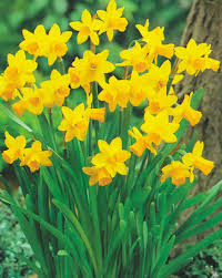 daffodil bulbs for sale buy your daffodil bulbs online