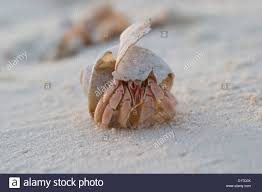 Halloween Hermit Crab by Land Hermit Crab Stock Photos U0026 Land Hermit Crab Stock Images Alamy