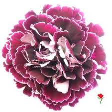 Purple Carnations Carnations γαρυφαλλα Carnations Pinterest