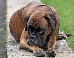 bulldog y boxer boxer dogs breeds pets