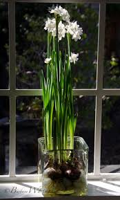 paperwhite flowers forcing paperwhites bees and
