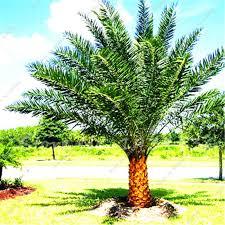 shop 50 pcs madagascar palm tree seeds tropical