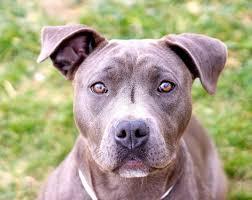 american pitbull terrier heat cycle santa cruz dogs