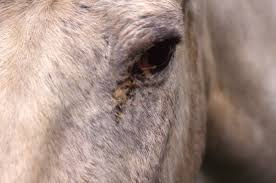 Signs Of Blindness In Horses Eyeballing Conjunctivitis In Horses The Horse Owner U0027s Resource
