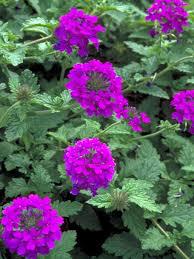 verbena flower verbena homestead purple bluestone perennials