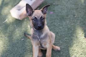 belgian shepherd usa view ad belgian malinois puppy for sale california imperial