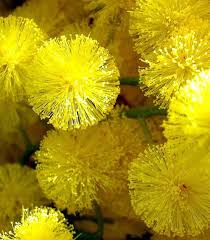 Yellow Flower - 26 best mimosa images on mimosas yellow flowers and