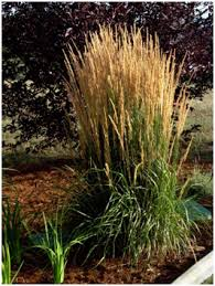 care of ornamental grasses in colorado alpine landscaping