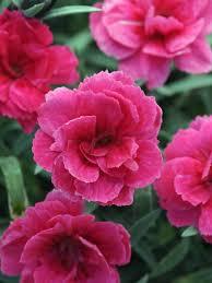 dianthus flower dianthus everlast pink bluestone perennials