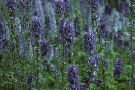 Most Fragrant Lavender Plant - when does lavender bloom home guides sf gate