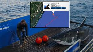 mary lee the twitter famous great white shark is back in new