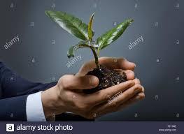 scion plant human hands close with scion rubber plant business concept stock
