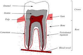 Dog Tooth Anatomy Rat Teeth
