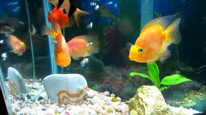 Parrot Decorations Home My Aquarium Five Parrot Fish One Oscar And Some Bottom Feeders
