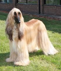 afghan hound poodle cross large dog breeds nextdogbreed com