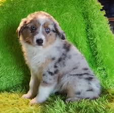 mini australian shepherd 8 weeks available puppies bodican mini aussies miniature