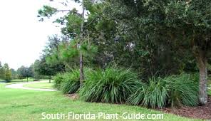 ornamental grass grass pas grass more