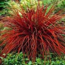discount ornamental grasses 2017 ornamental grasses seeds on