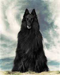 belgian sheepdog art portrait of wolfcub belgian shepherd groenendael photograph by
