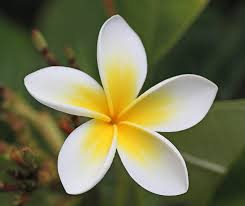 plumeria flower essence isha lerner healing remedy