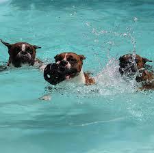 boxer dog rescue florida boxer breeder arizona south willow boxers