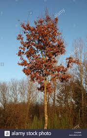 it s a photo of a small oak tree with brown leaves it s autumn or