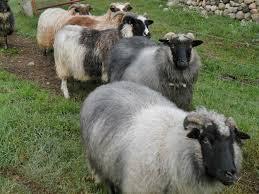 crossbreeze farm lambs and sheep for sale