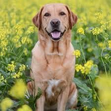 afghan hound and labrador retriever the american labrador retriever pack photos of american labrador