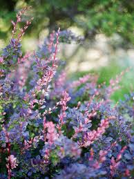plants native to china colorful shrubs sunset