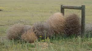 Tumbleweed New Tumbleweed Species Is Taking Over California Science Aaas