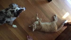 cat with australian shepherd mini australian shepherd vs cat youtube