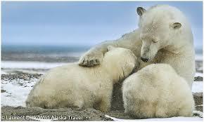 Alaska travel nursing images Wild alaska travel alaska polar bear northern lights tour wild jpg