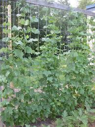 veggieville gardening to fight hunger green beans plant twice