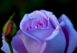 imagenes con flores azules dia de la maestra significado de las rosas florpedia com