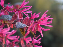 plants native to japan about chinese fringe plants u2013 tips for growing loropetalum shrubs
