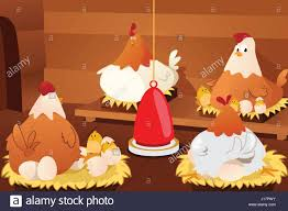 A Cartoon Barn A Vector Illustration Of Chicken Hatching Eggs In A Barn Stock