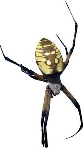 clipart photorealistic color yellow banana spider