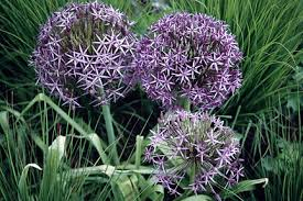 allium flowers allium rhs gardening