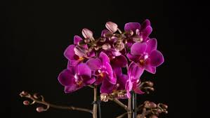 purple orchid flower purple orchid flowers blooming on black background by biggunsband